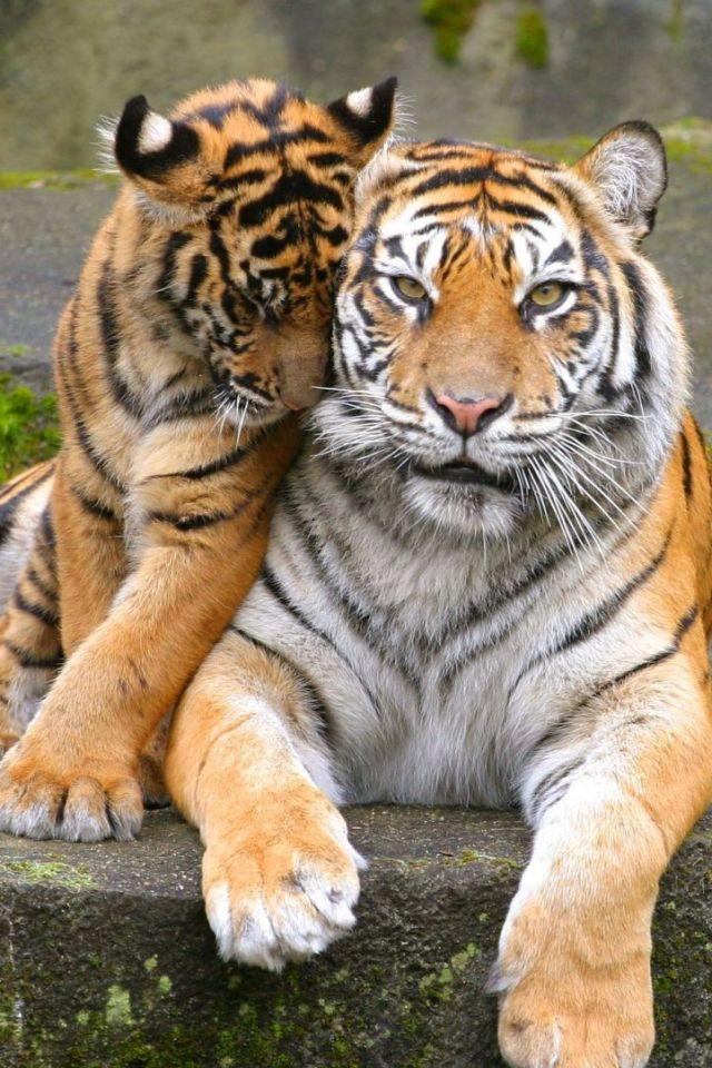 Открытка ты мой тигр 2