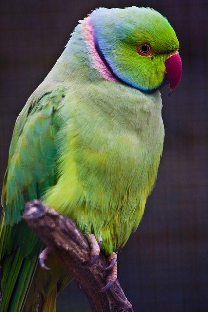 Indian Ringneck Parakeet Foods