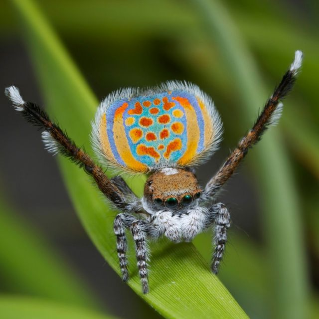 Peacock jumping spiders - photo#32
