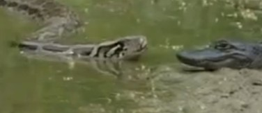 Python Eats Alligator Live While You Watch Wow Strange