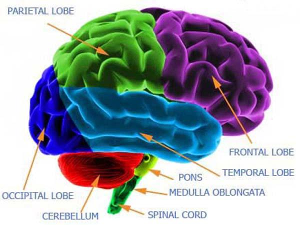 Dopamine foods brain