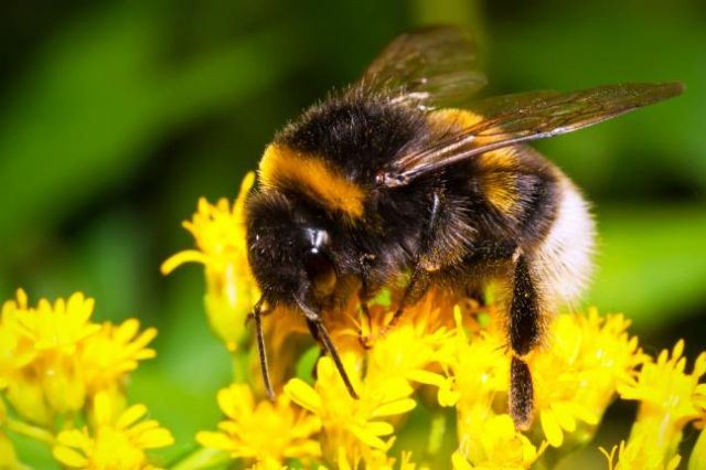 Bee-populations-face-another-threat-alum