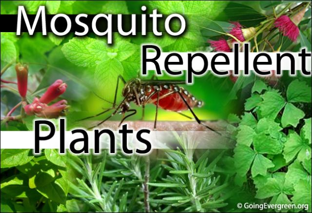 10 plants that naturally repel mosquitoes video survival for Best plants to keep mosquitoes away