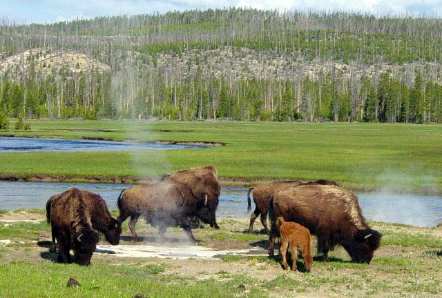 [Imagem: Bison_near_a_hot_spring_in_Yellowstone.JPG]