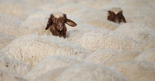 Vaccines Induce Bizarre Anti-Social Behavior in Sheep